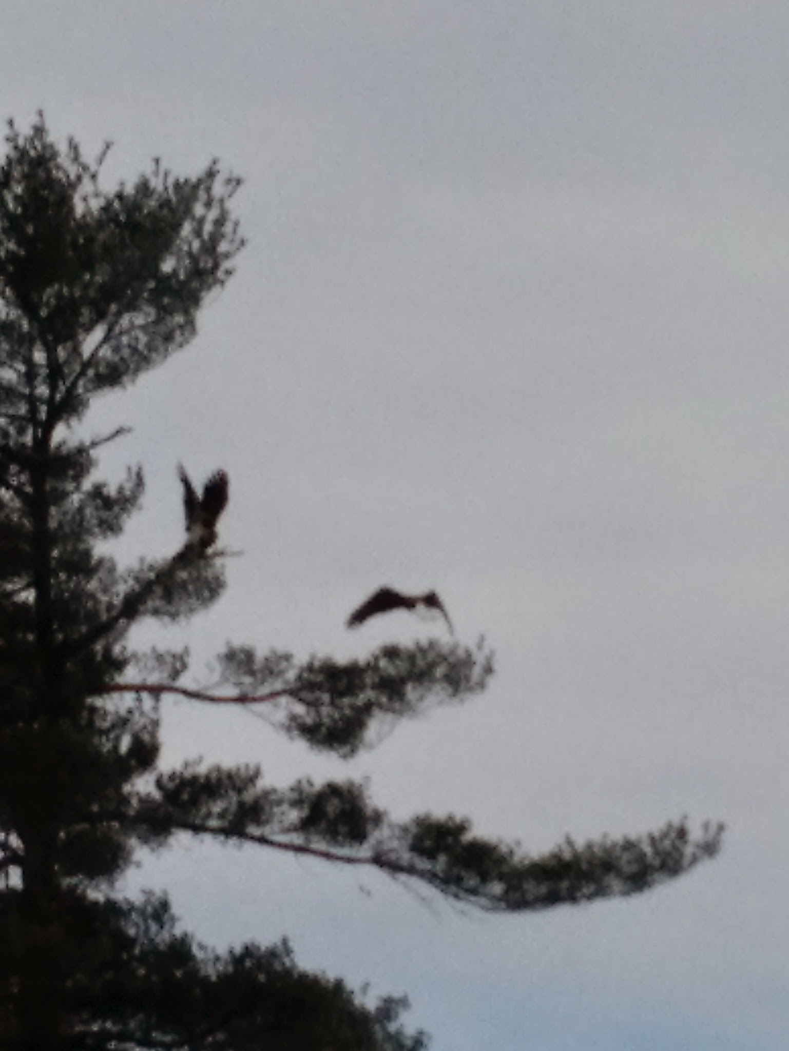 Bald Eagle & Osprey