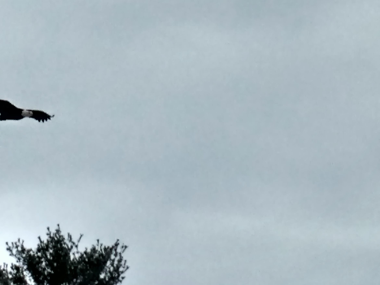 Incoming - Bald Eagle